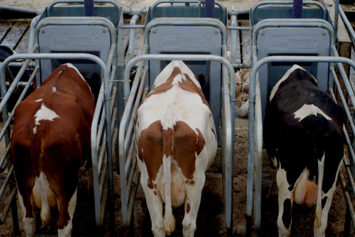 Smart Dairy Fütterungsmodul
